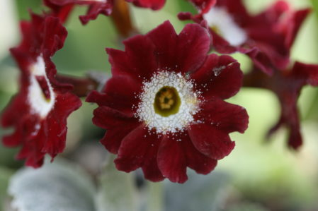 PRIMULA auricula Old Red Dusty Miller - Woottens Plant Nursery