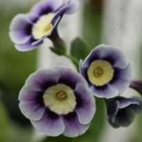 PRIMULA auricula Avril Hunter - Woottens Plant Nursery.