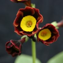 PRIMULA auricula Eastern Promise - Woottens Plant Nursery Suffolk.
