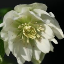 SPECIAL OFFER Helleborus Wilgenbroek Double White
