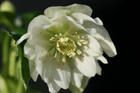SPECIAL OFFER Helleborus Wilgenbroek Double White
