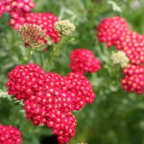 ACHILLEA Red Velvet - Perennial Yarrow - Woottens Plant Nursery