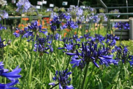 Agapanthus Unknown - Woottens Plants