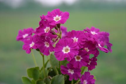 Auricula-x-pubescens-Boothmans-Variety--sku-6216