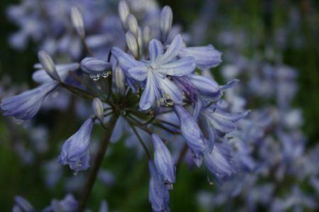 AGAPANTHUS Headbourne Hybrids - Woottens Plants