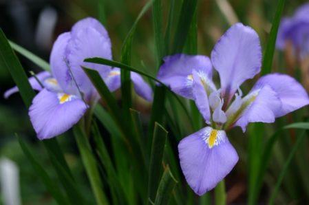 Iris unguicularis syn Iris stylosa offer - Woottens Plant Nursery