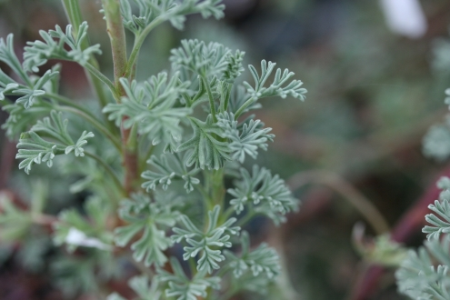PELARGONIUM abrotanifolium photo