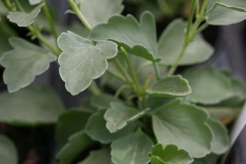 PELARGONIUM acetosum photo