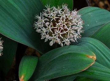 ALLIUM karataviense - Woottens Plant Nursery