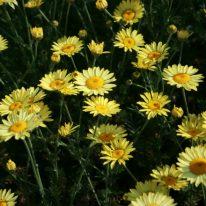 ANTHEMIS tinctoria E. C. Buxton - Woottens Plant Nursery