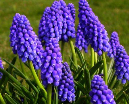 Muscari armeniacum - Woottens Plant Nursery Suffolk