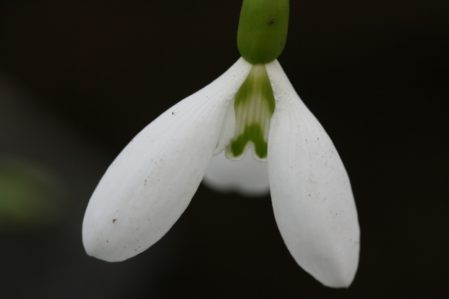 GALANTHUS Percy Picton. Rare Snowdrop - Woottens Plant Nursery