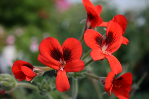 PELARGONIUM ignescens photo