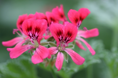 PELARGONIUM Radula Roseum photo