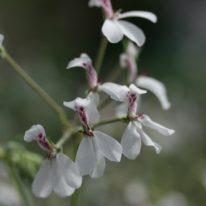 PELARGONIUM dichondrifolium. Species Pelargonium - Woottens