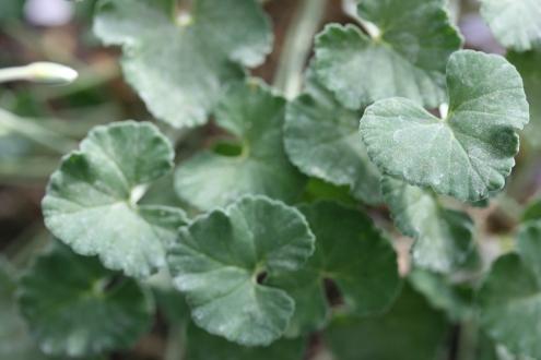 PELARGONIUM dichondrifolium photo