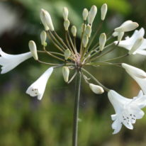 AGAPANTHUS Polar Ice - Woottens Plants