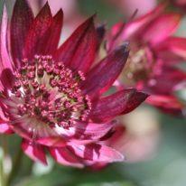 ASTRANTIA major Gill Richardson Group - Woottens Plant Nursery.