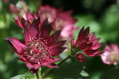 ASTRANTIA major Gill Richardson Group photo