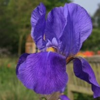 Iris Blue Gown