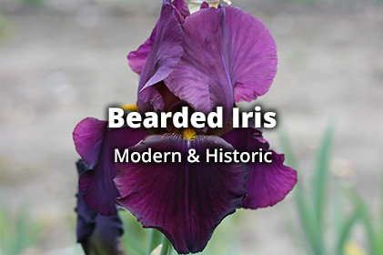 beardedIris