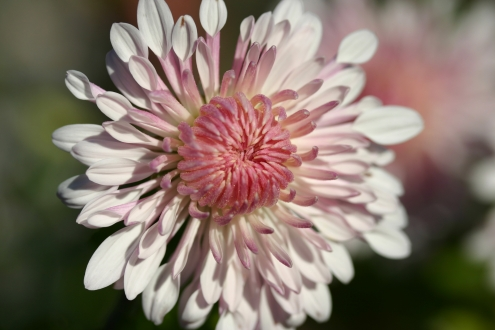 THE PLANTSMANS CHOICE Hardy Chrysanthemums photo