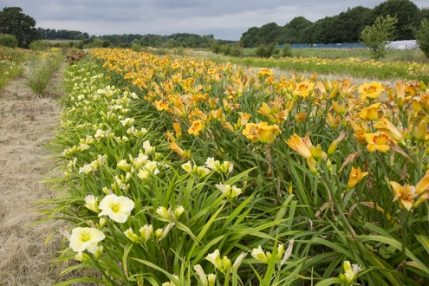 Woottens of Wenhaston Hemerocallis Open Days