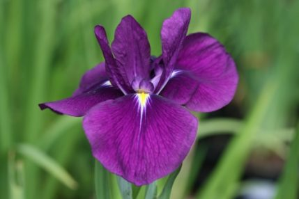 Iris ensata Purple