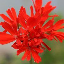 PELARGONIUM Red Witch. Stellar Pelargonium - Woottens Plant Nursery