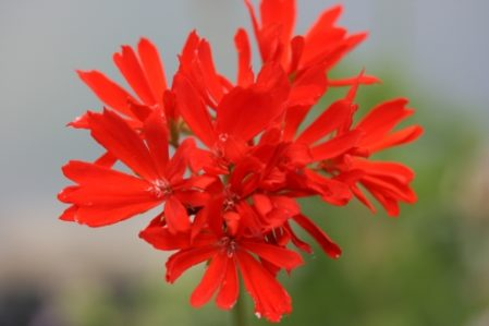 PELARGONIUM Red Witch. Stellar Pelargonium - Woottens Plant Nursery