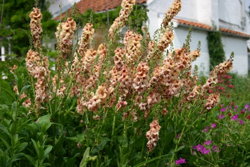 VERBASCUM Cotswold Beauty photo