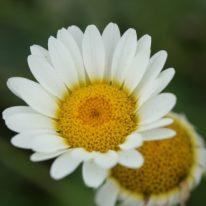 ANTHEMIS tinctoria Sauce Hollandaise - Woottens Plant Nursery