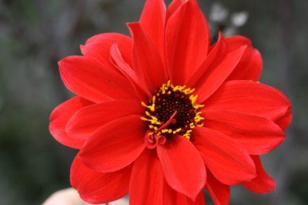 Dahlia Bishop of Llandaff - Woottens Plant Nursery. Single Dahlia.
