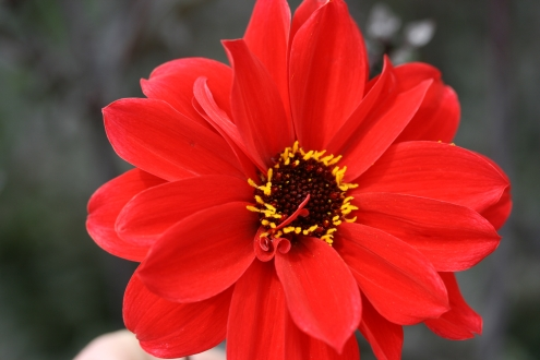 SPECIAL OFFER Dahlia Bishops Collection photo
