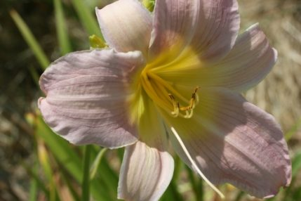 Hemerocallis Catherine Woodbury