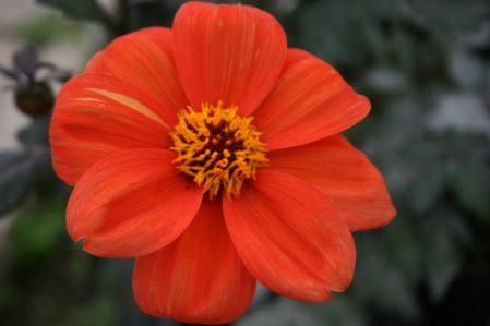 Dahlia Bishop of Oxford - Woottens Plant Nursery. Single Dahlia.