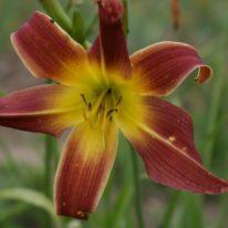 HEMEROCALLIS Fantasia. Spider Daylily. Woottens Plant Nursery