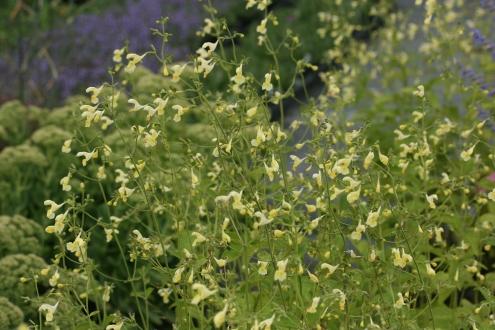 nepeta govaniana woottens plants