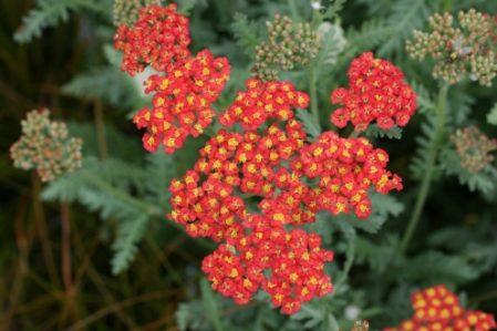 ACHILLEA Walther Funcke - Perennial Yarrow - Woottens Plant Nursery