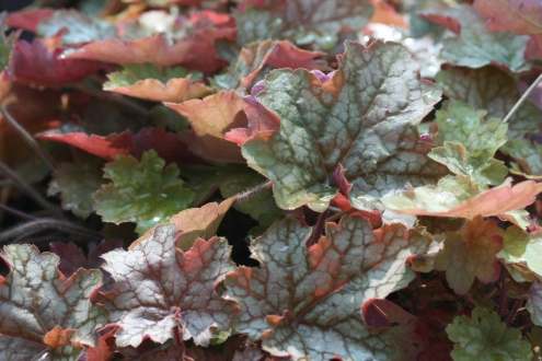 HEUCHERA Ginger Ale photo