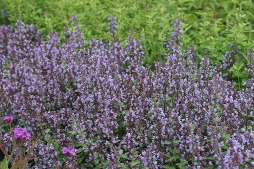 NEPETA faassenii Prussian Blue photo