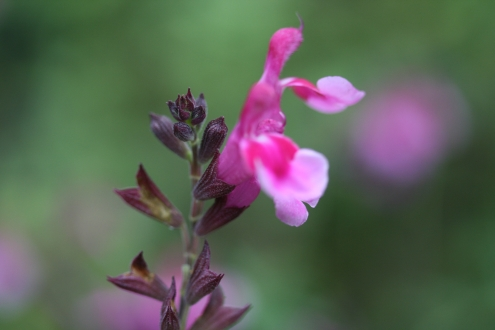 SALVIA greggii Icing Sugar photo