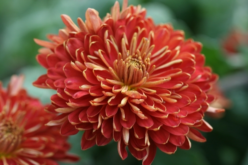 SPECIAL OFFER Hardy Chrysanthemums photo