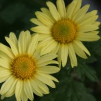 CHRYSANTHEMUM Early Yellow