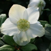 Special Offer - Woottens Plants - Helleborus niger Christmas Carol
