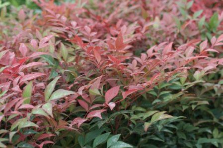 SPECIAL OFFER Nandina domestica Obsessed - Woottens Plants