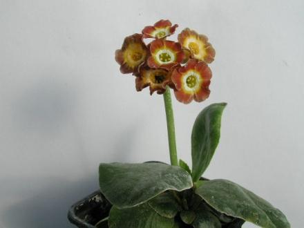 PRIMULA auricula Winifred - Woottens Plant Nursery Suffolk