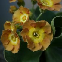 PRIMULA auricula Border Bandit - Woottens Plant Nursery.