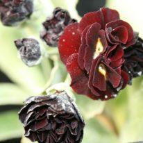 PRIMULA auricula CadizBay - Woottens Plant Nursery