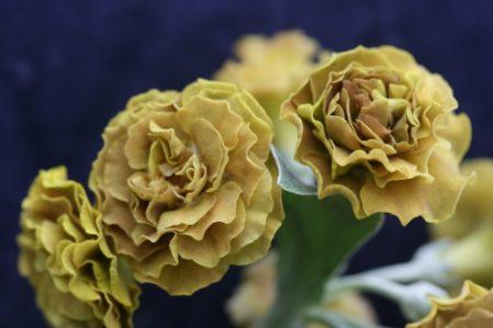 PRIMULA auricula Greswolde - Woottens Plant Nursery Suffolk.